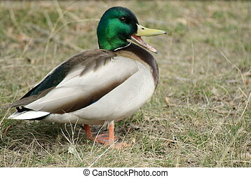Mallard, or Wild duck Anas platyrhynchos - A quacking male...