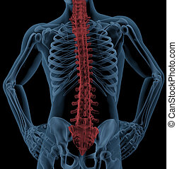 Spine of a medical skeleton - Medical skeleton with the spin...