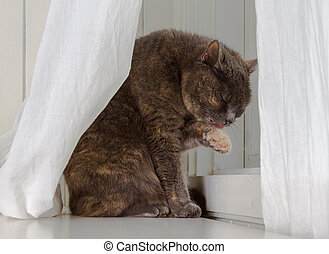 Grey cat sits on white background, licking dirty paw while hiding behind curtains