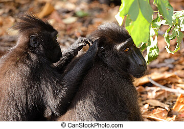 sulawesi monkey Celebes crested macaque - Young baby doing...