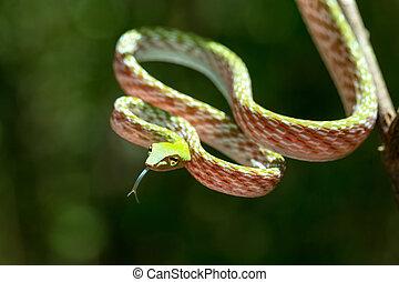 green Asian Vine Snake (Ahaetulla prasina) - Oriental...