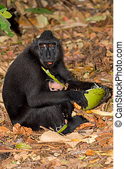 sulawesi monkey with baby Celebes crested macaque - Young...