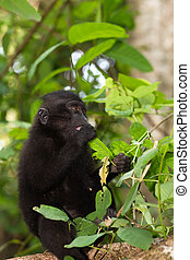 endemic sulawesi monkey Celebes crested macaque - Young baby...