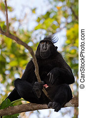 endemic sulawesi monkey Celebes crested macaque - Endemic...