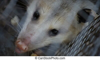 possum close up - view from above of a possum caught in a...