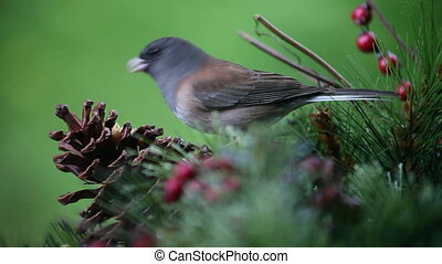 bird eats from pine cone close up - a dark-eyed junco pecks...