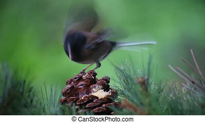 lively bird on a pine cone - a very animated dark-eyed junco...