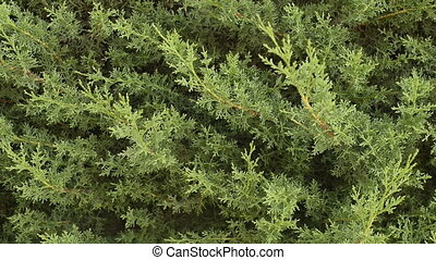 Cypress close up background