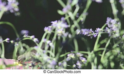 hummingbird in the lavender - a ruby-throated hummingbird...