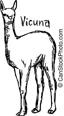 vicuna standing - vector illustration sketch hand drawn with...