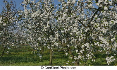 Farmer examining cherry trees