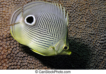 Butterfly Fish - Close-up of a Butterfly fish in front of...