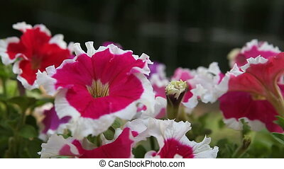 red and white petunias - close up of bicolor petunias with...