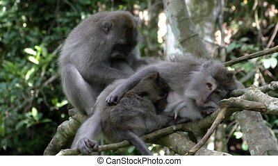 Monkey family comb fleas in the rainforest - Monkey family...