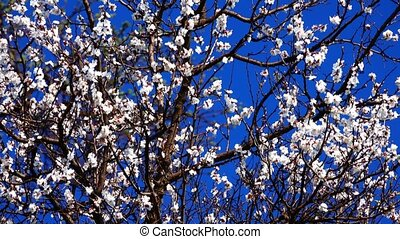 tree flowers an apricot against the background of the sky