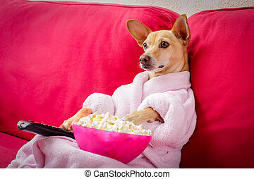 dog watching tv on the couch - chihuahua dog watching tv or...