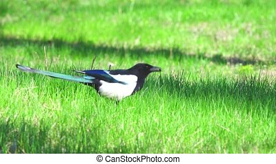 magpie on a green grass