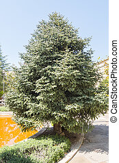 Abies Pinsapo in a garden