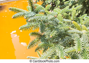 Abies Pinsapo branches in a garden