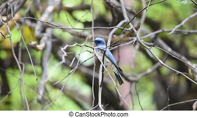 Bird (Blue-and-white Flycatcher) on a tree - Bird...