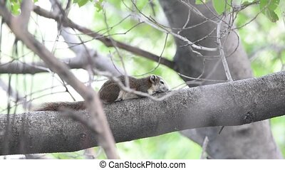 Squirrels on tree in nature - Squirrels are members of the...