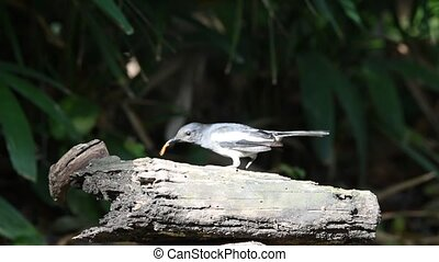 Bird (Oriental magpie-robin) on a tree - Bird (Oriental...
