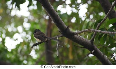 Bird (Pied Fantail Flycatcher) on a tree - Bird (Pied...