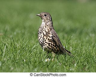 Mistle thrush, Turdus viscivorus, single bird on grass,...