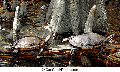 Two turtles rest on the beam in the pool