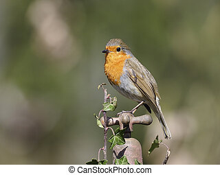 Robin, Erithacus rubecula, single bird on garden tap,...