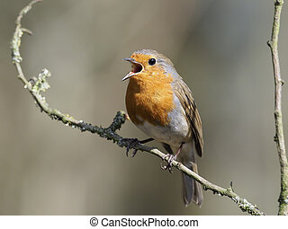 Robin, Erithacus rubecula, single singing bird on branch,...
