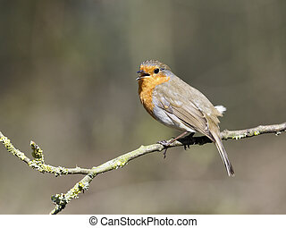 Robin, Erithacus rubecula, single bird singing on branch,...