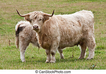 Calf with mother - Angus calf withi his mother, Scotland,...