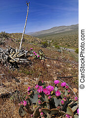 Blooming in Anza Borrego - Cactus blooming in Anza Borrego...