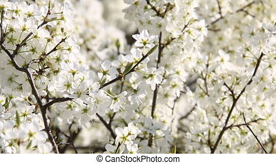 Blooming apple trees in the spring garden - Tag with an...