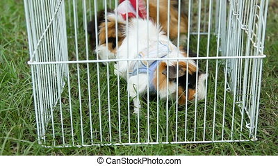 Two Guinea pigs in costumes eat the grass, sitting on the...