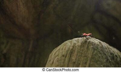 Pair of Pyrrhocoridae beetles mating on stone Bali,...