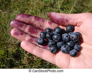 Bilberry - Big bilberry on a hand