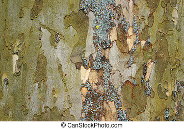 Bark of old plane tree (sycamore). Natural textured...