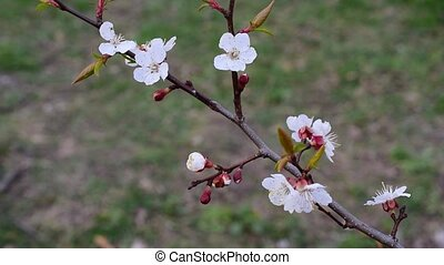 Blossoming apricot fruit tree branch with beautiful flowers...
