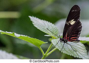 Butterfly - Farfalla nera e rossa - Farfalla nera e rossa...