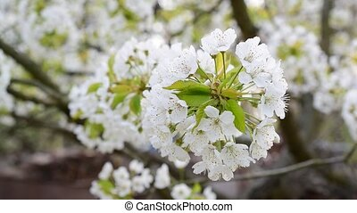 Cherry tree blossom in spring - Close-up of blossoming white...