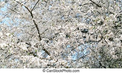 Cherry blossom filling the frame. Beautiful white cherry...