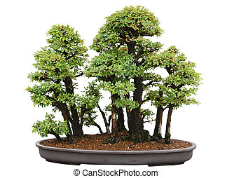 bonsai, árbol, japonés, olmo