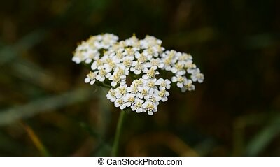Yarrow with a tiny insect on it. Achillea millefolium,...