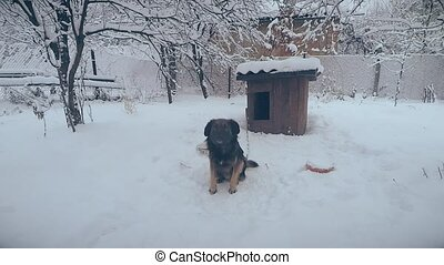 Mongrel dog on chain in snow in front of the camera jumps,...