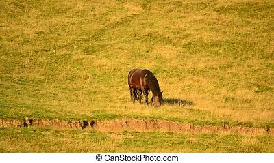 Black horse grazing on pasture with partly dried grass