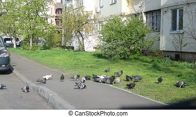 Many pigeons fed in a city on green grass and pavement