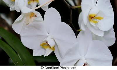 A bush of white orchids close-up. The camera moves back on the slider. Color correction.