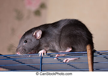 rat on a cage